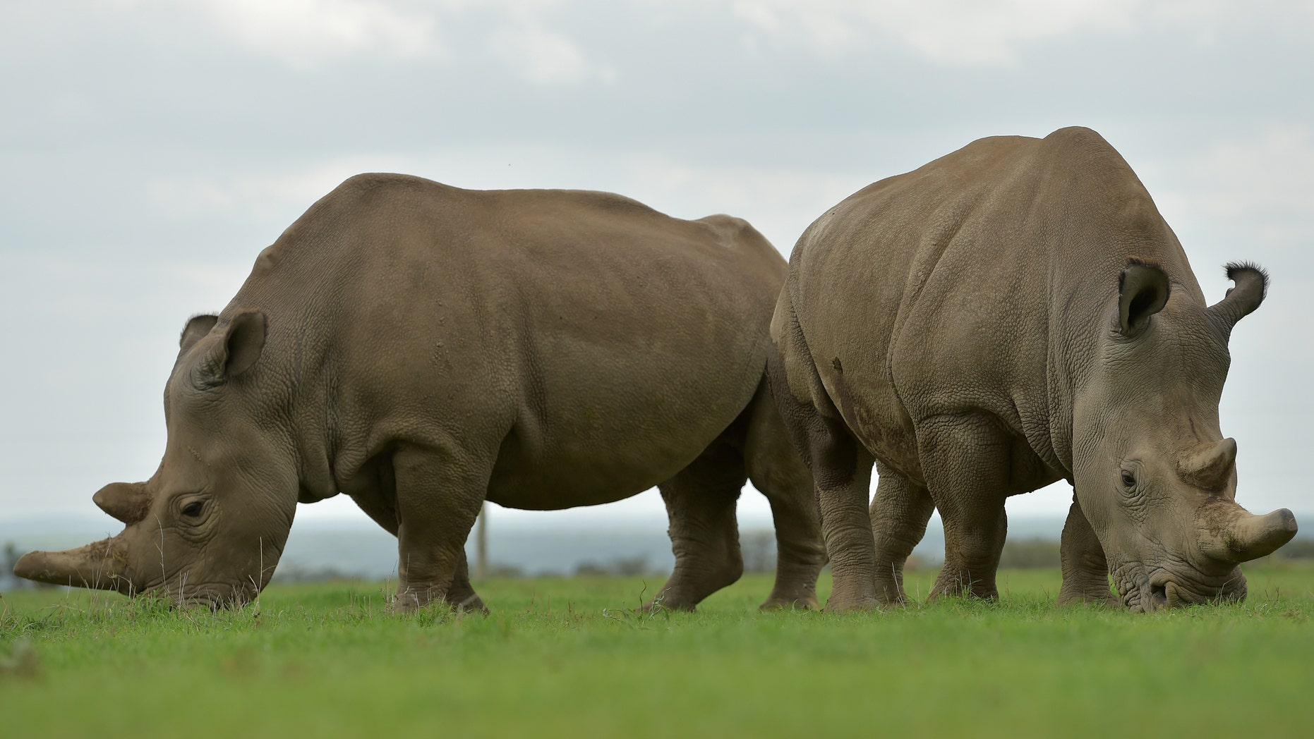 File photo - Najin (L) and Fatu, the only two remaining northern white rhinos graze together in their paddock on March 20, 2018 at the ol-Pejeta conservancy in Nanyuki, north of capital Nairobi. (TONY KARUMBA/AFP/Getty Images)