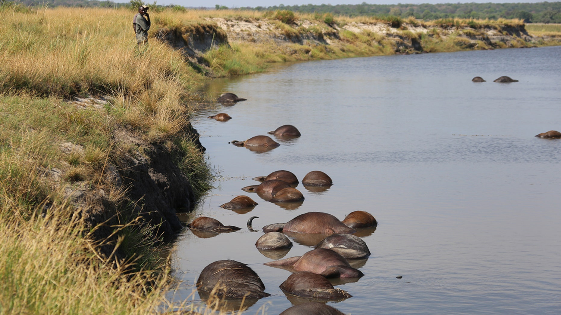 Hundreds of buffalo drowned in the Chobe River after being hunted by a lion shirt. (Serondela Lodge)