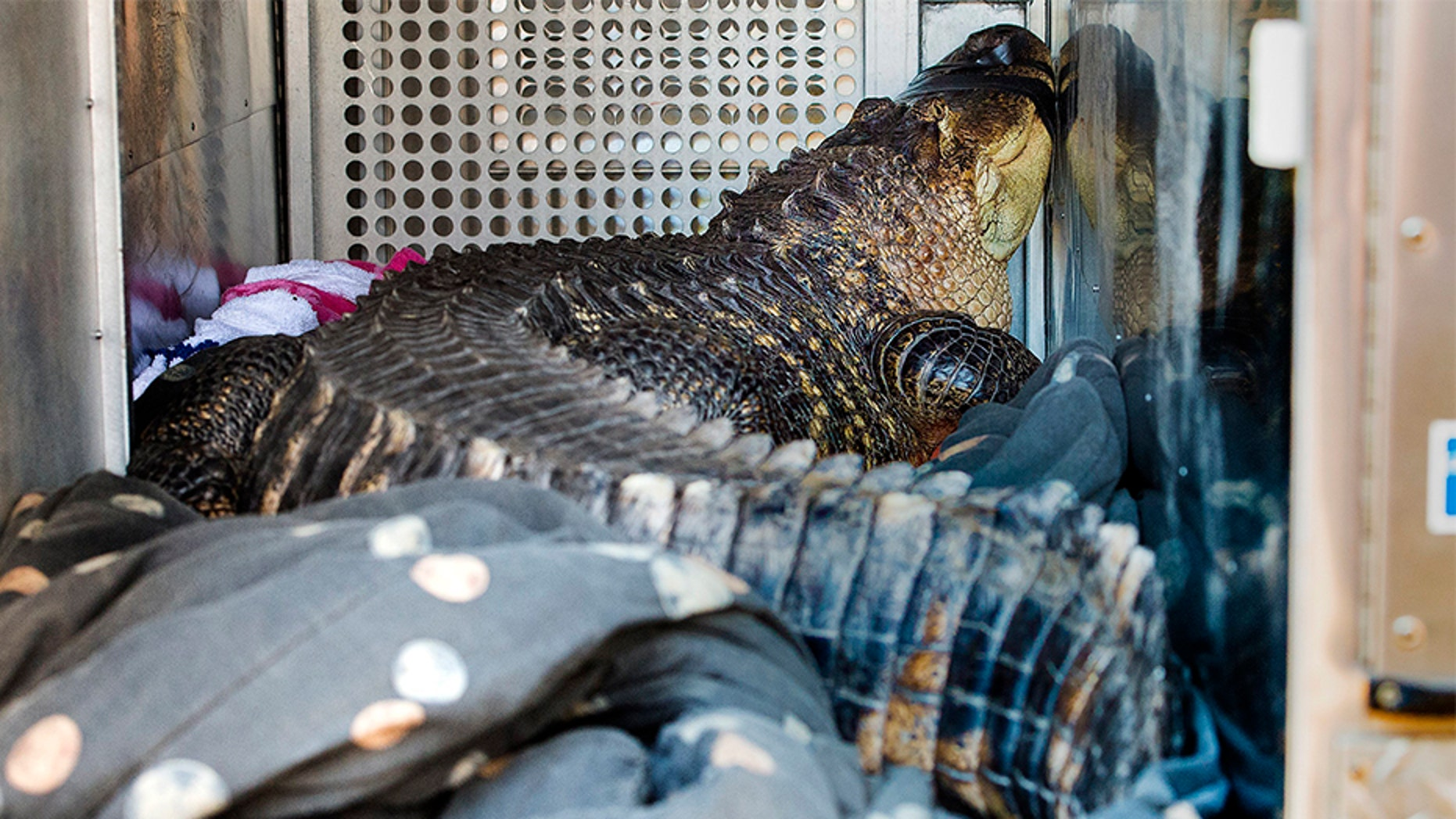 A 7-foot-long, 200-pound alligator named Catfish was found in a hot tub by a landlord evicting a tenant in Kansas City on Wednesday.