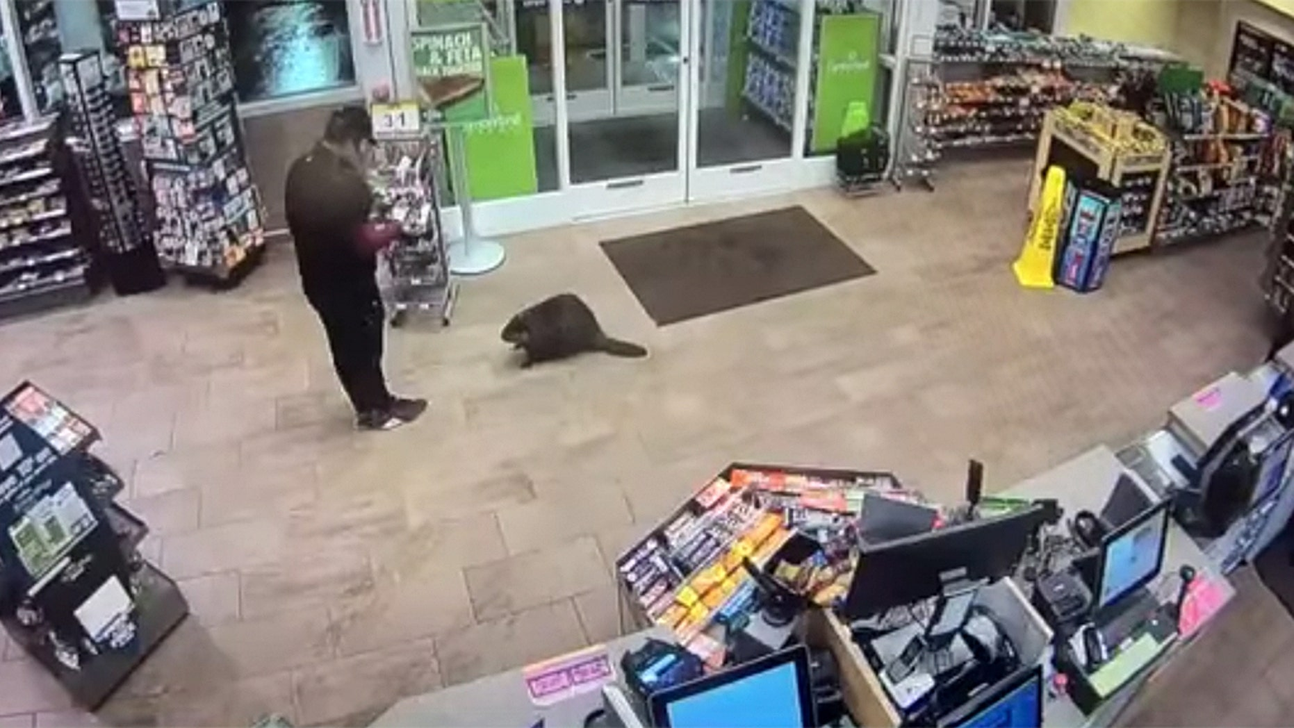 A beaver is seen inside a Cumberland Farms store in Fitchburg, Mass.