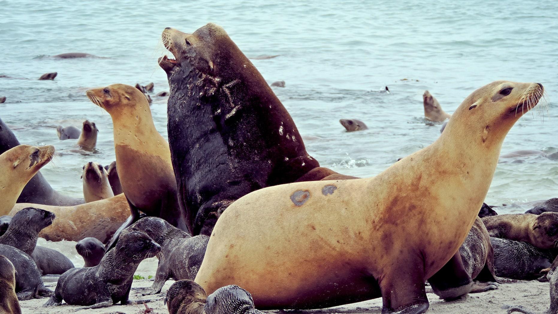 California sea lions.