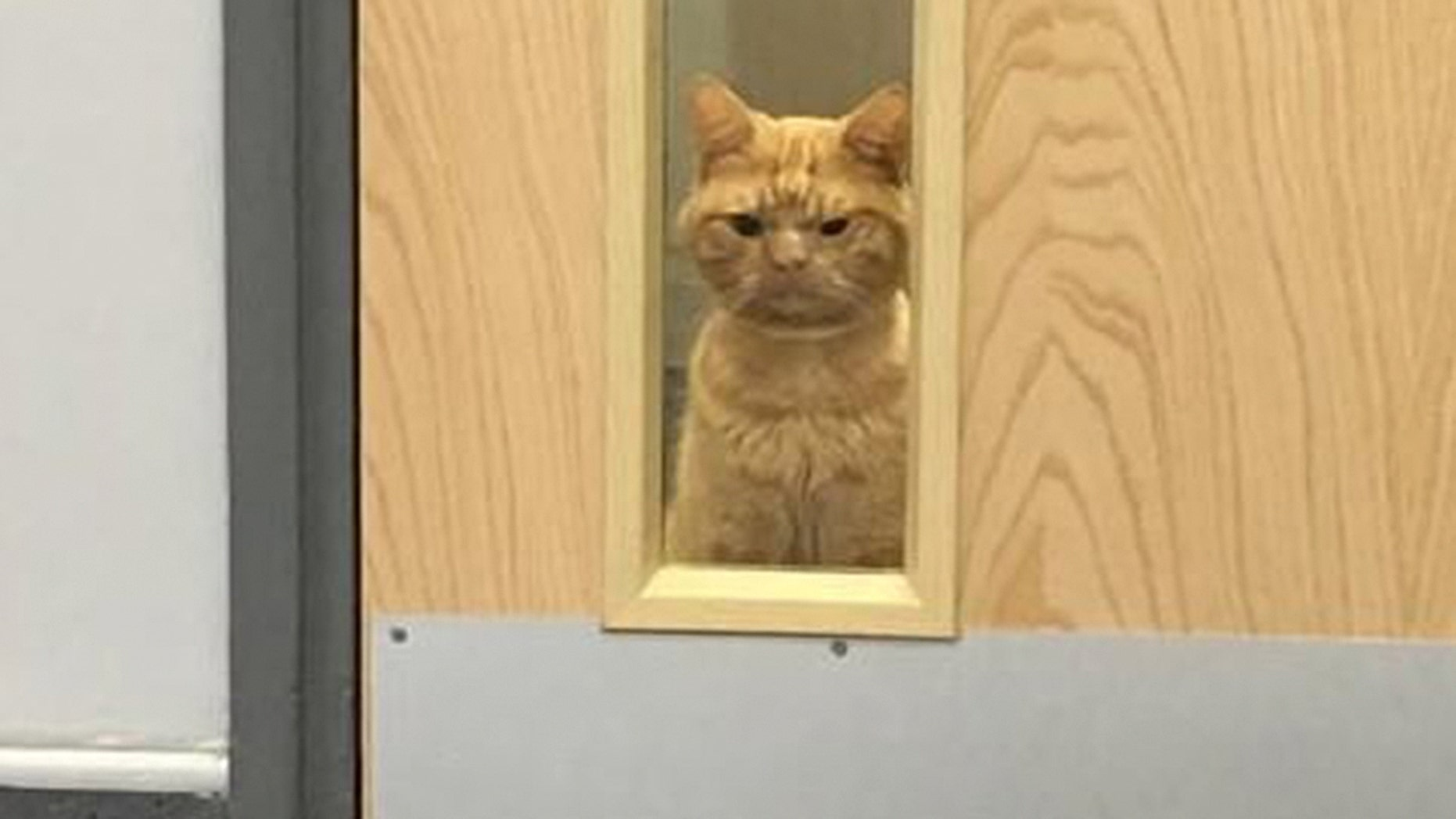 """A cat who's been dubbed """"Grumpy Cat 2.0"""" has gone viral for his dissatisfied expression."""