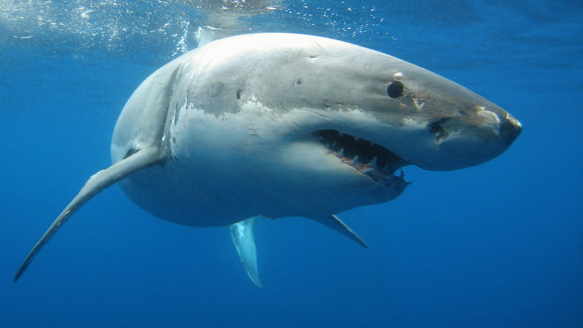 """A fisherman was shocked when his """"huge halibut"""" turned out to be a great white shark."""