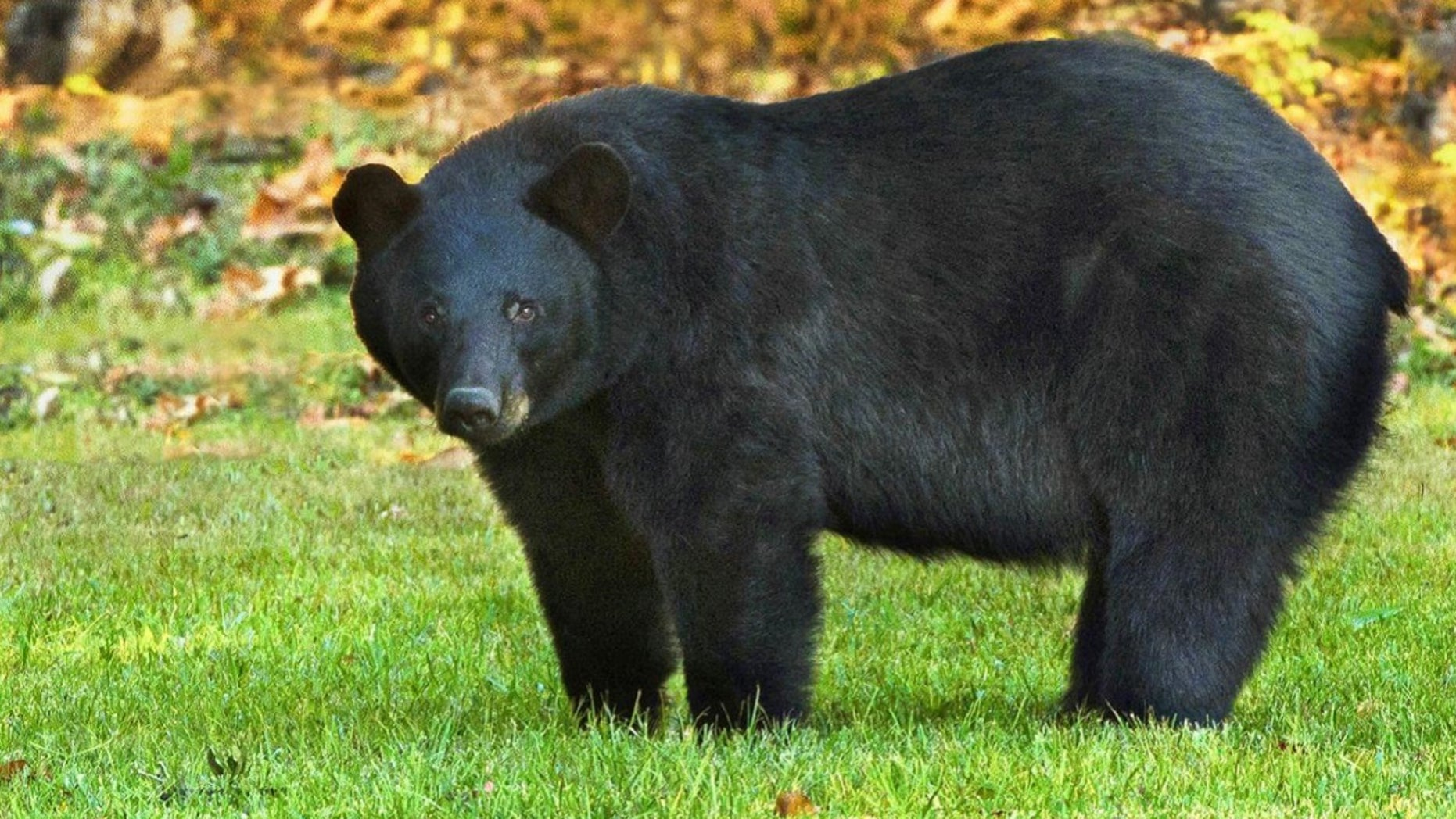 FILE: The Louisianablack bear is one of 16 subspecies of the American black bear.