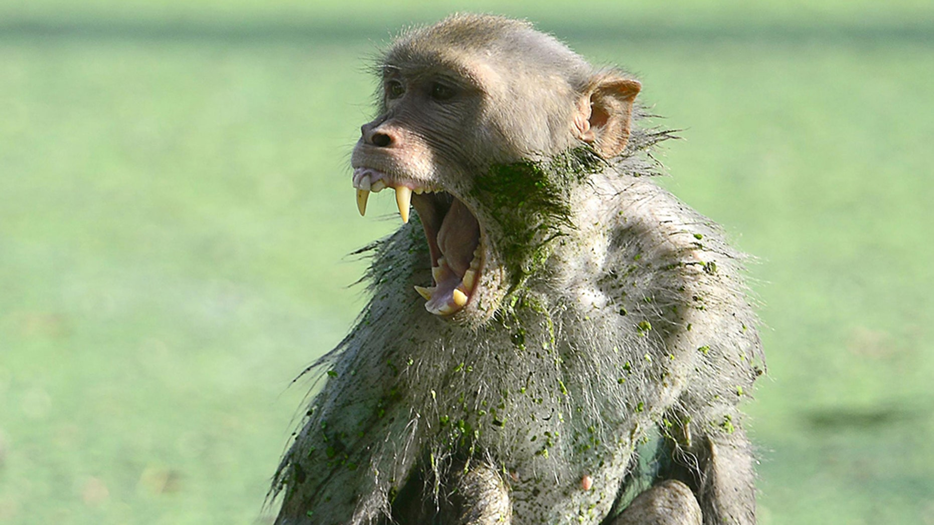A monkey in India killed a 12-day-old baby after snatching it from his mother's arms.