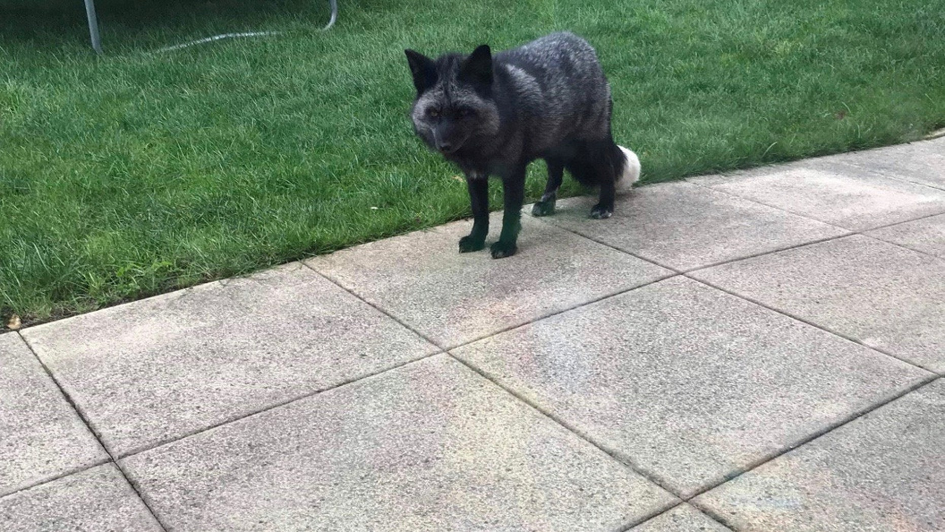 Rare admission at RSPCA center after silver fox found in Cheshire garden. (Credit: SWNS)