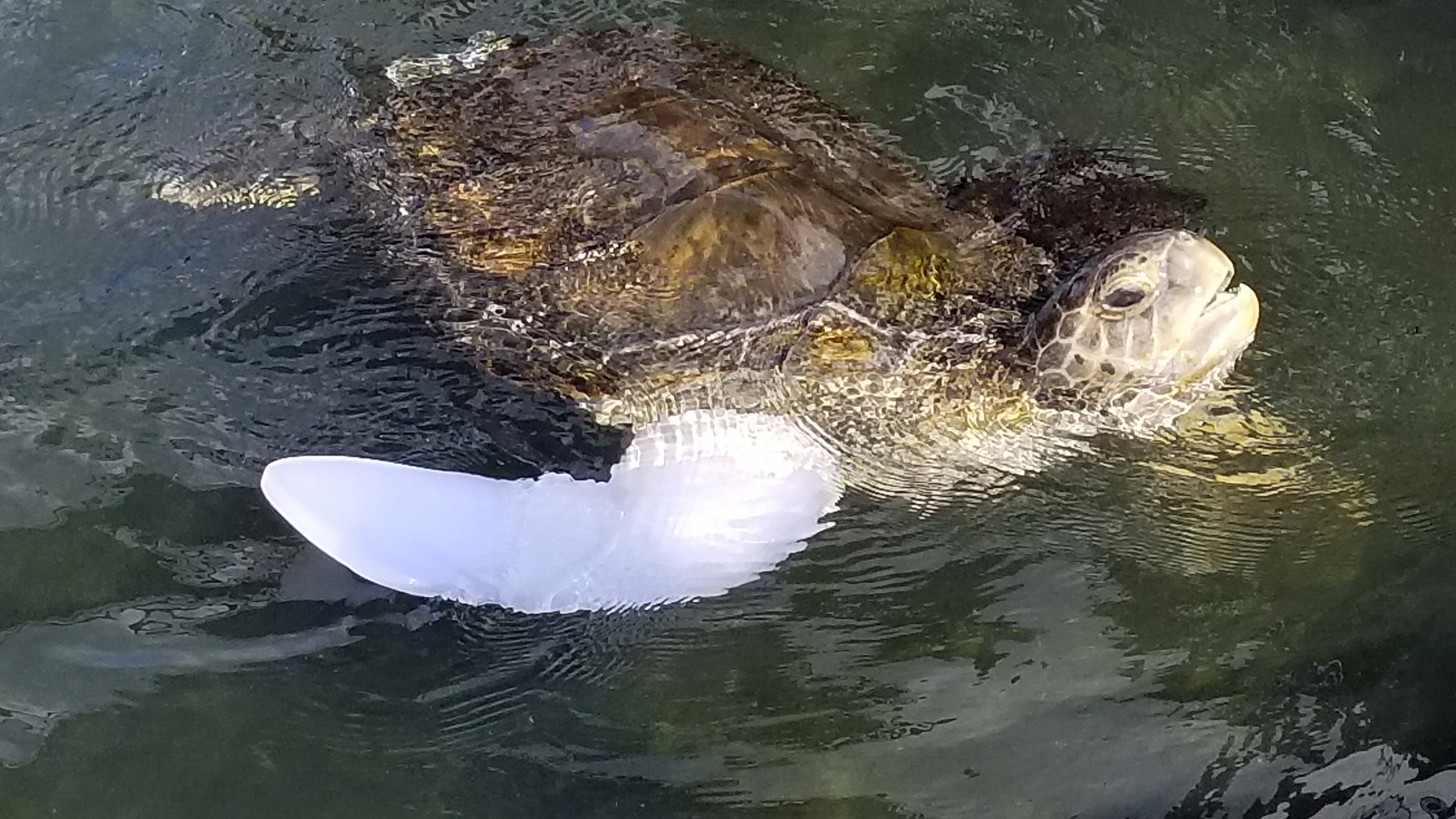 Rocky, green sea turtle, wearing his new prosthetic in his pool for the first time. (Credit: SWNS)