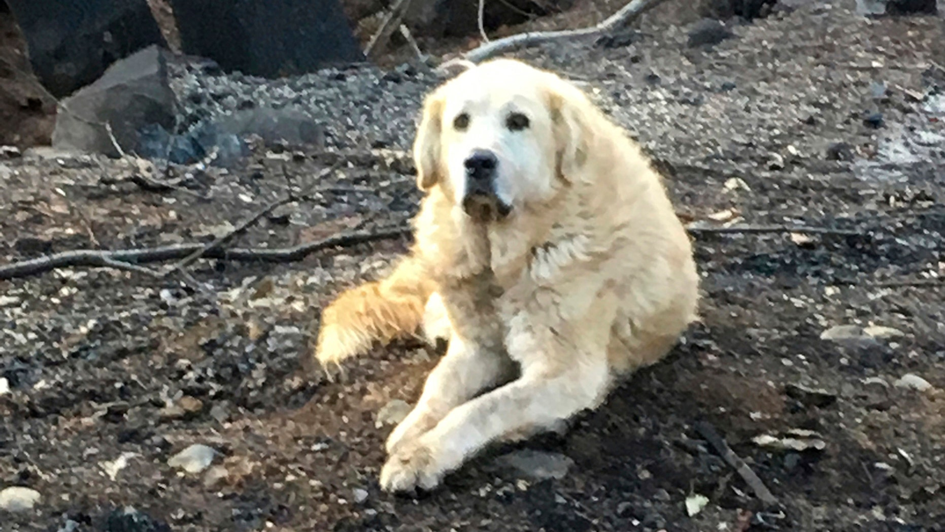 """This Friday Dec. 7, 2018 photo provided Shayla Sullivan shows """"Madison,"""" the Anatolian shepherd dog that apparently guarded his burned home for nearly a month until his owner returned in Paradise, Calif. Sullivan, an animal rescuer, left food and water for Madison during his wait. (Shayla Sullivan via AP)"""