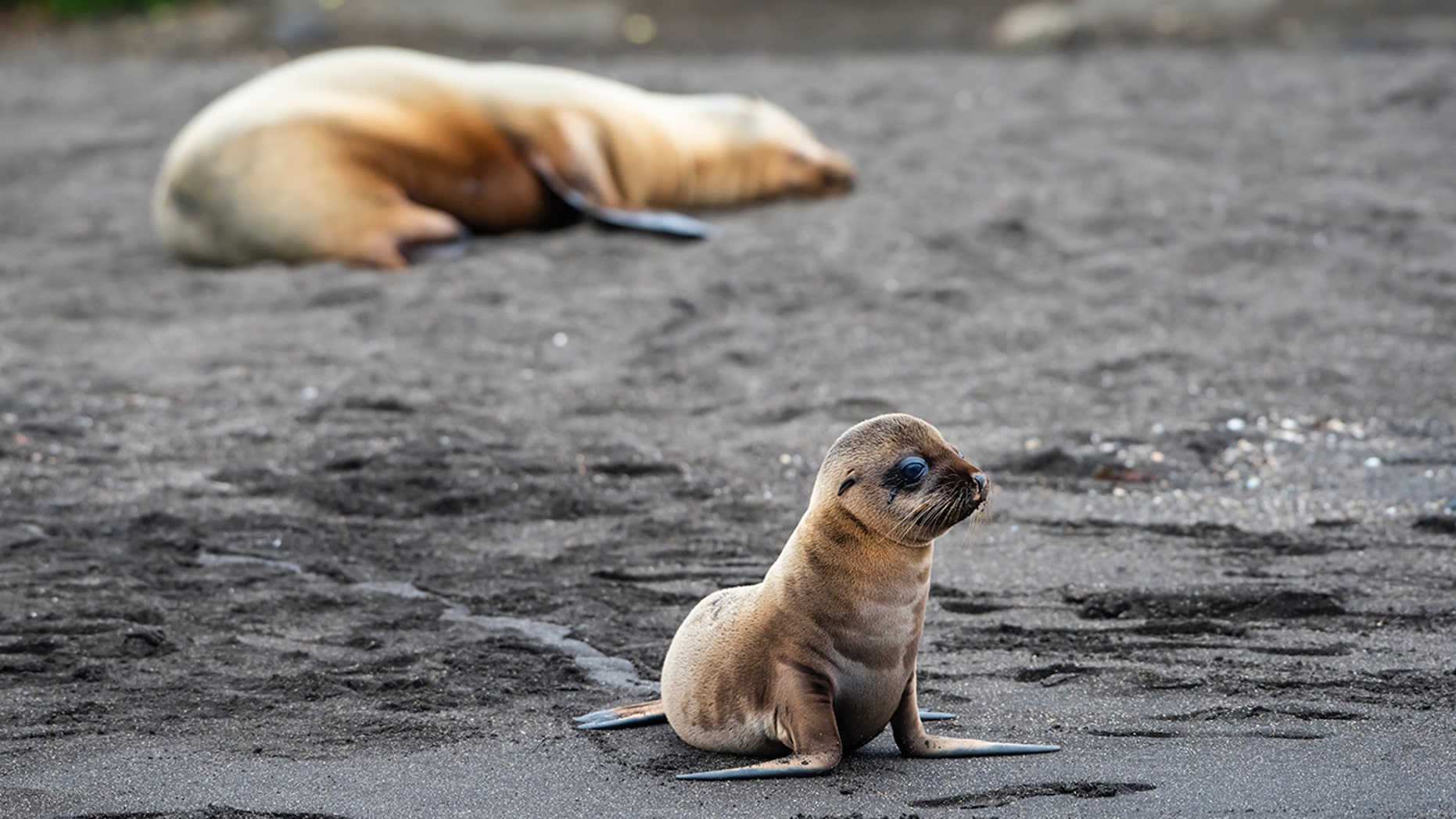 """Six fur seals were found decapitated in New Zealand in what officials have called a """"disturbing, brutal and violent"""" crime. (istock)"""