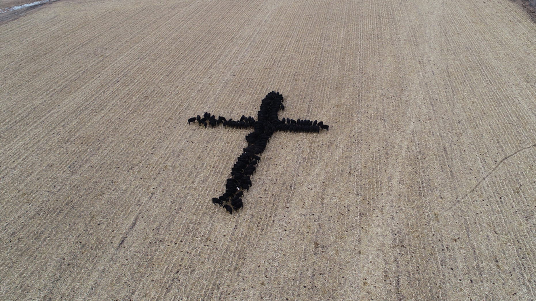 Farmer Gene Hanson took a picture of his neighbor's cows forming the shape of a cross.