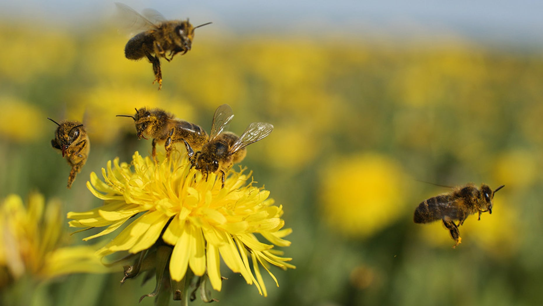 Honey bees pollinate a vary of vegetation, comparable to apples and melons.