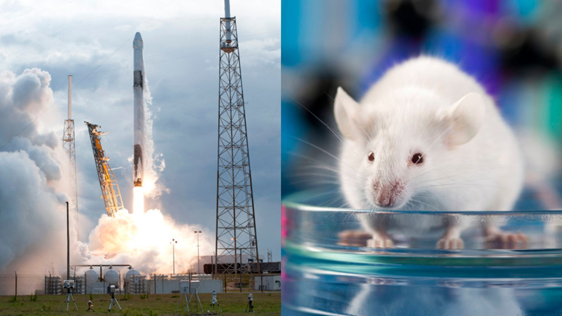 Some 40 mice will be traveling to the ISS in the SpaceX Dragon cargo capsule as part of a project called Rodent Research-8 (RR-8).