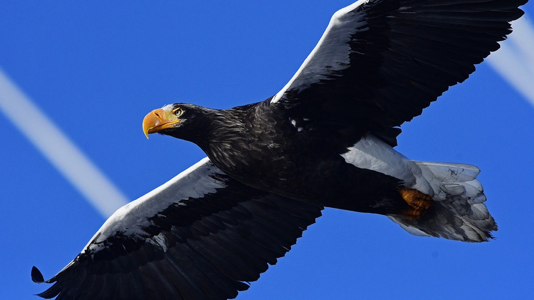 """PETA is calling for everyday language to """"evolve"""" away from anti-animal phrasing. Pictured: A Steller's sea eagle. (Getty Images)<br>"""