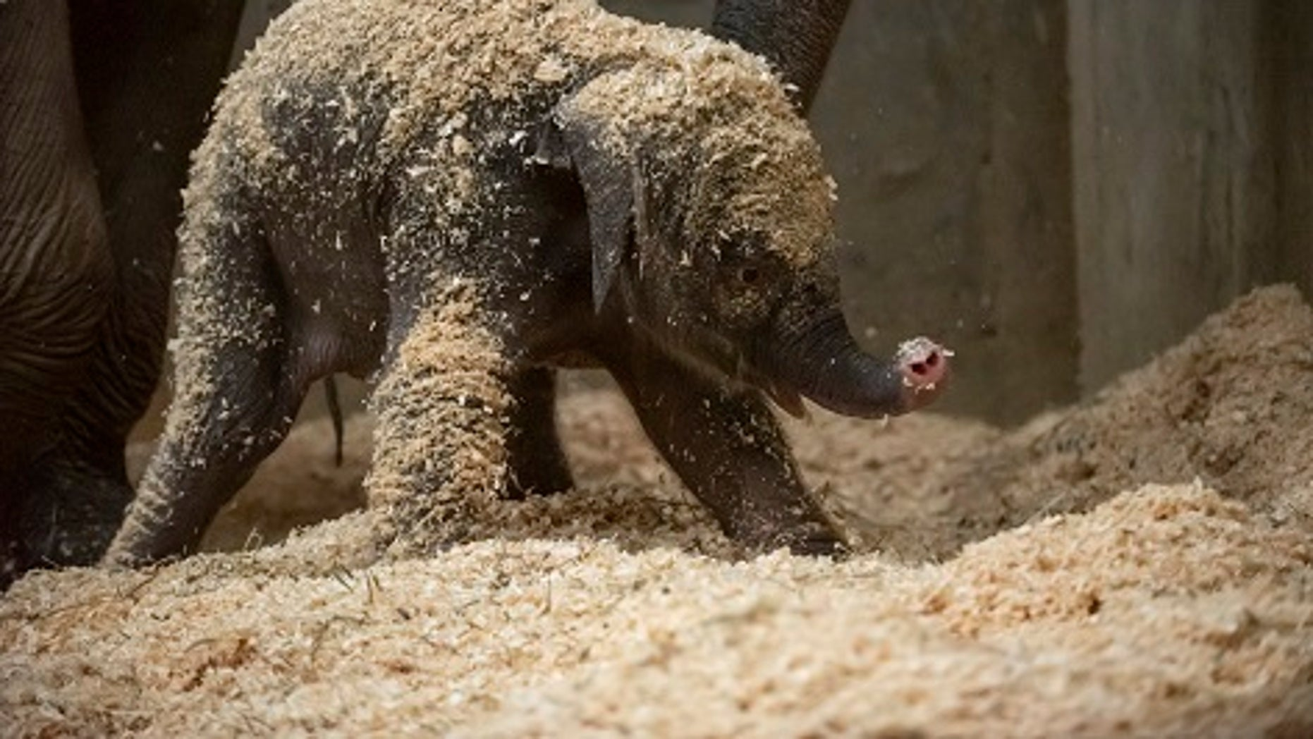 An Asian elephant was born Thursday, Dec. 6, 2018 in Powell, Ohio.