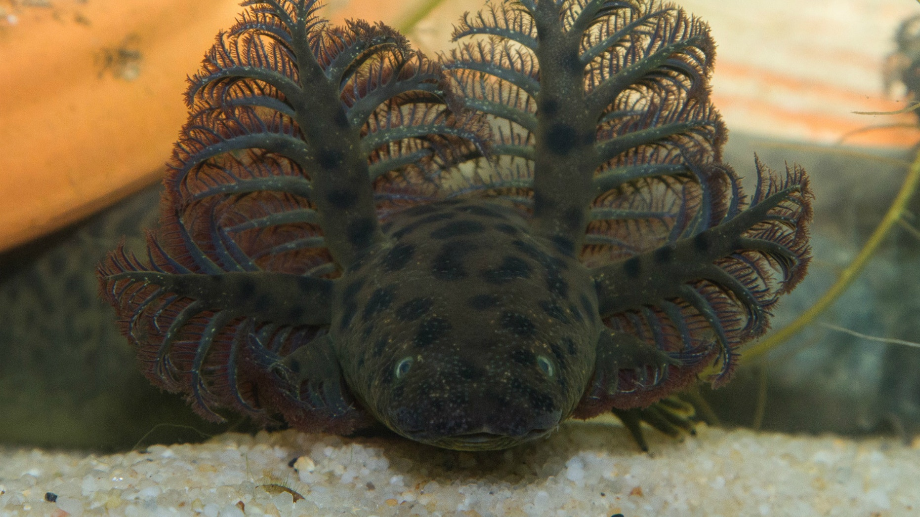 Newly described aquatic salamander <i>Siren reticulata</i> — reticulated siren — has a spotted, eel-like body and no hind limbs.