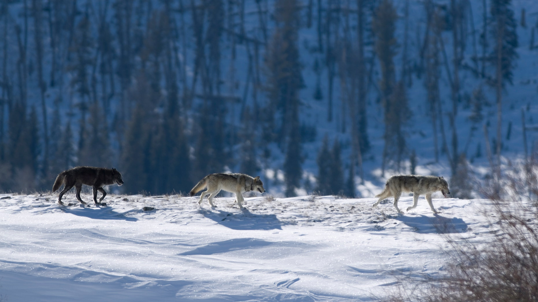 Spitfire, not pictured, was a popular sight among wolf watchers at Yellowstone National Park.
