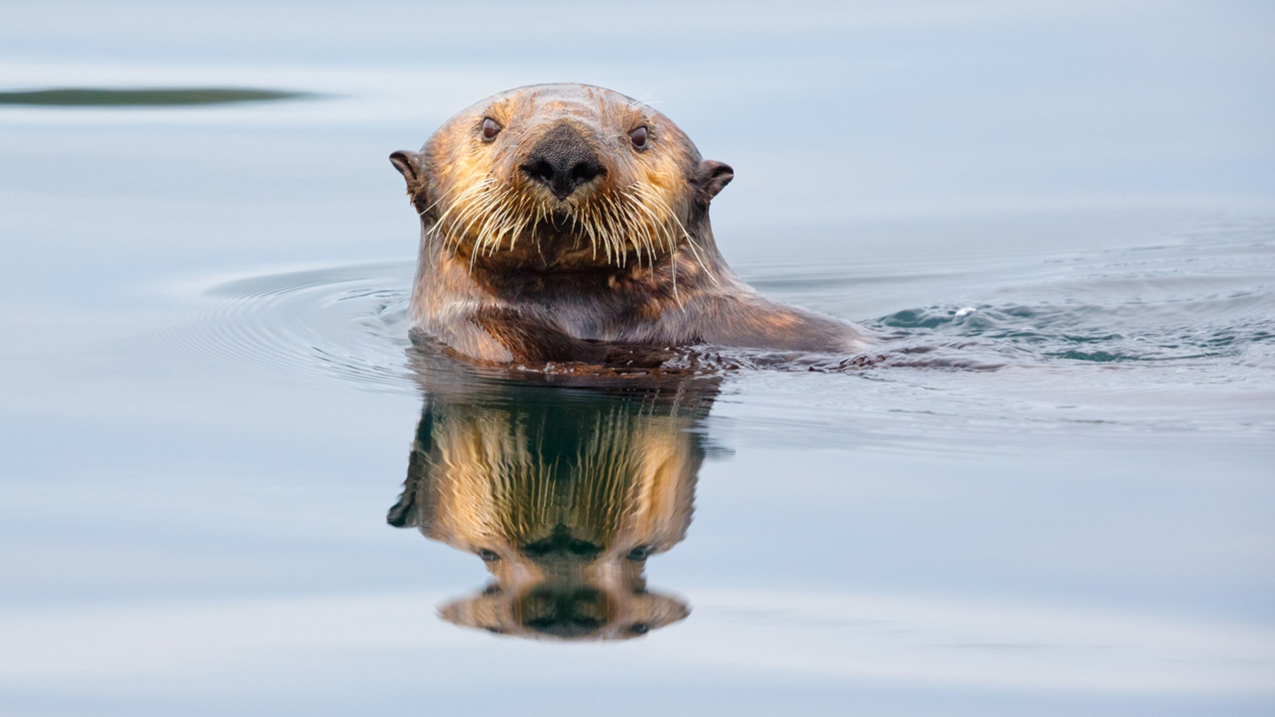 Monterey Bay Aquarium Apologizes For Referring To Otter As 'Thicc'