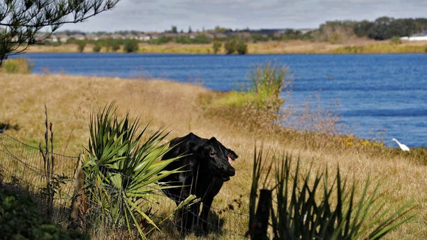 A cow in the grass along Valhalla Pond in Riverview, Fla., on Tuesday. (AP Photo/Chris O'Meara)