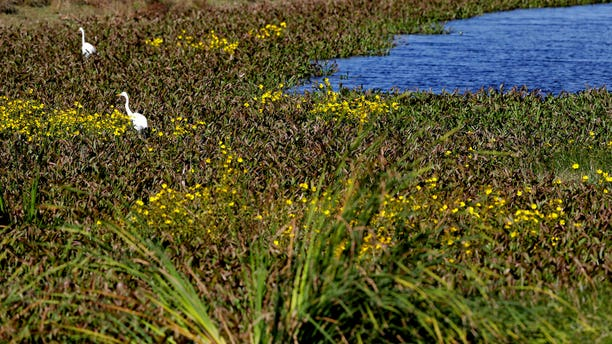 A pair of egrets along Valhalla Pond, in Riverview, Fla., on Tuesday. (AP Photo/Chris O'Meara)