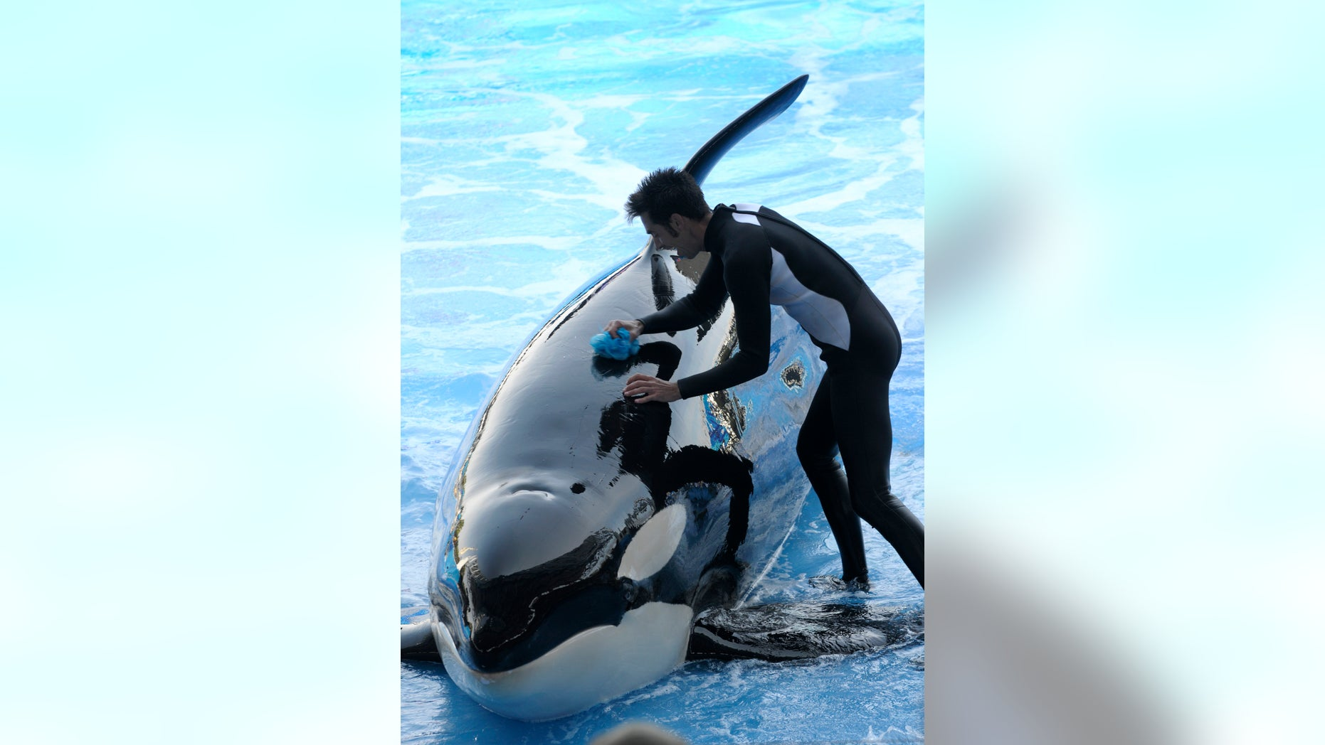 In a March 7 2011 file photo, trainer Joe Sanchez, right, works with killer whale Kayla during the Believe show in Shamu Stadium at the SeaWorld Orlando theme park in Orlando, Fla.
