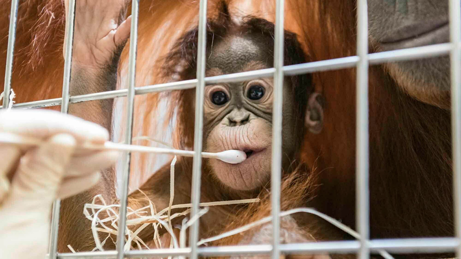 In this undated photo, released Thursday Jan. 31, 2019, by Zoo Basel, zoo keepers routinely take DNA samples from female orangutan cub Padma to determine her paternity. ( Zoo Basel via AP)