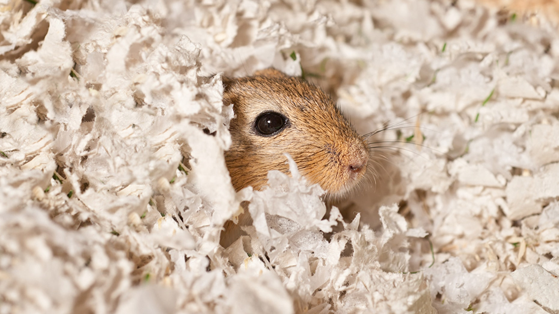 """A """"hungry"""" gerbil was rescued police after its owner was imprisoned for nearly a week."""