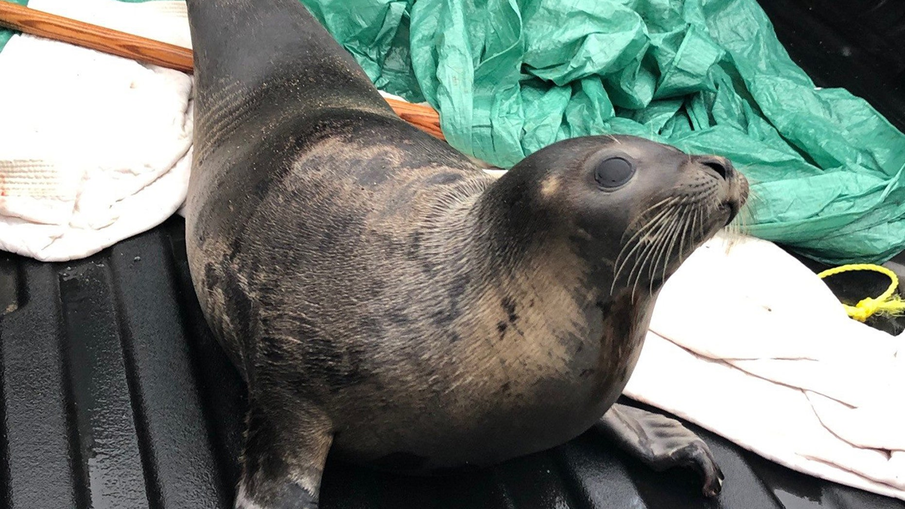 On January 8, the RCMP wrote on their Facebook page had rescued a seal from and safely released him at a more isolated areaon the peninsula