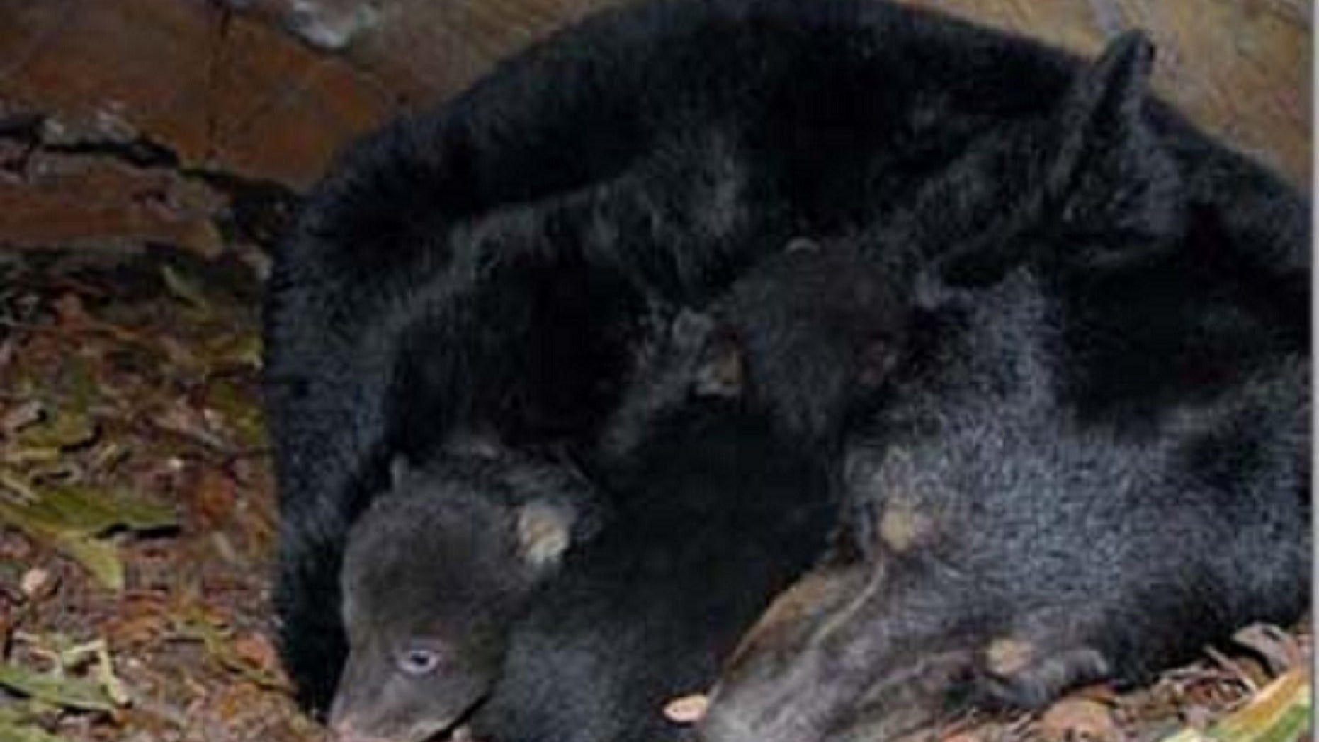 A mother black bear sleeps with her cubs. Andrew Renner and son Owen Renner have been sentenced to jail for the illegal slaughter of the sleeping mother bear and fatal point-blank shooting of her two cubs.