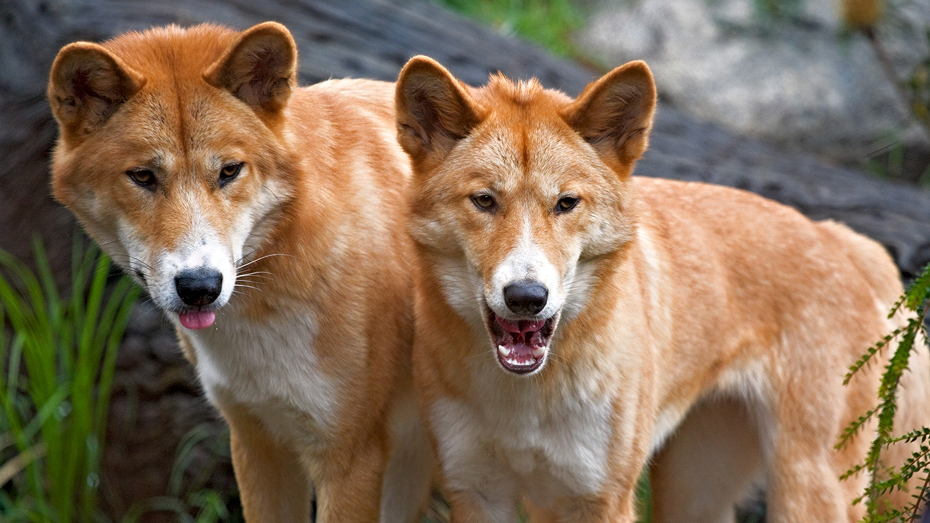 A pack dingo made a 6-year-old boy.