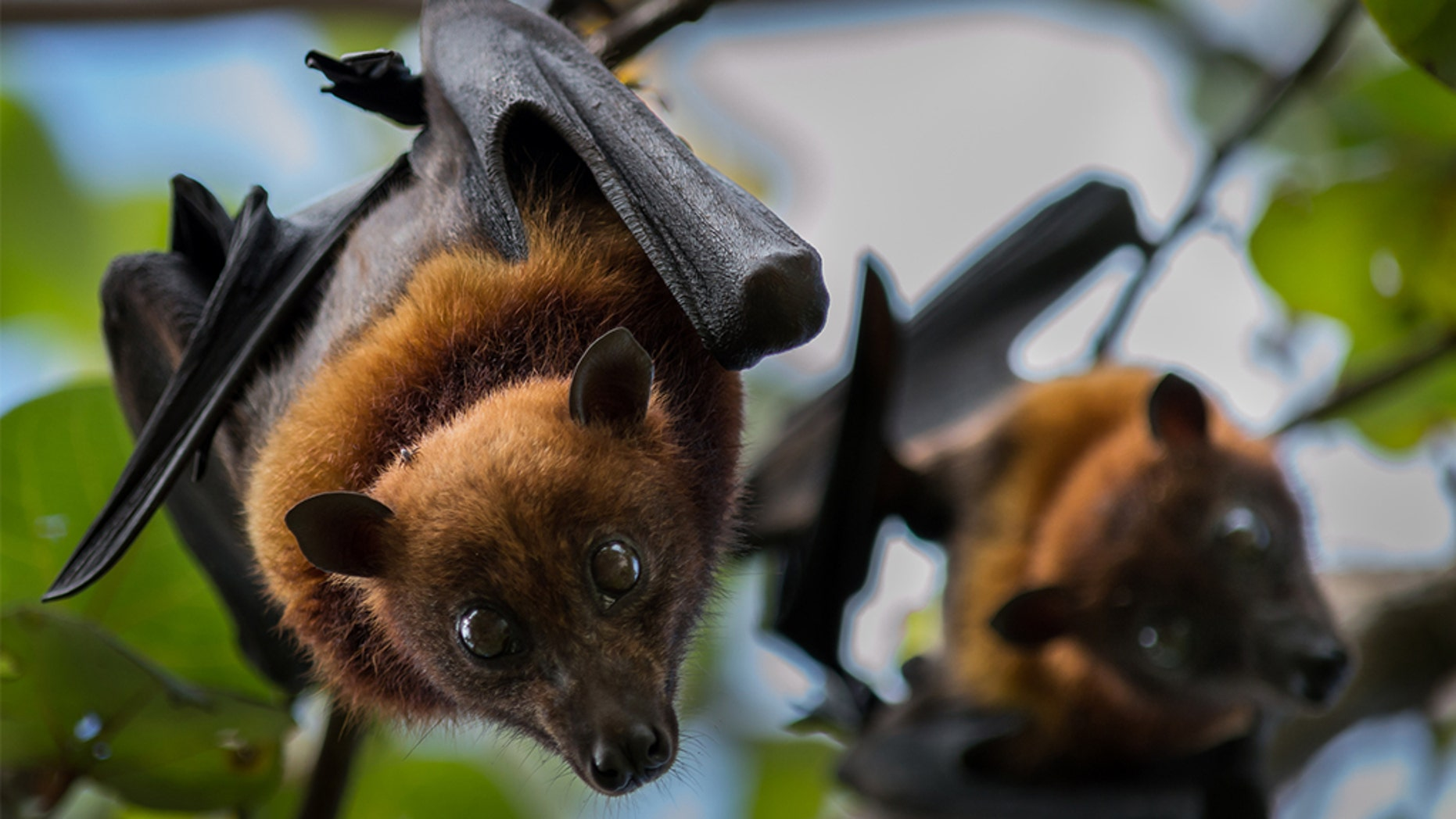 The Měnglà pathogen was found in fruit bats in China, and potentially could taint humans and other animals, scientists have said. (iStock, File)