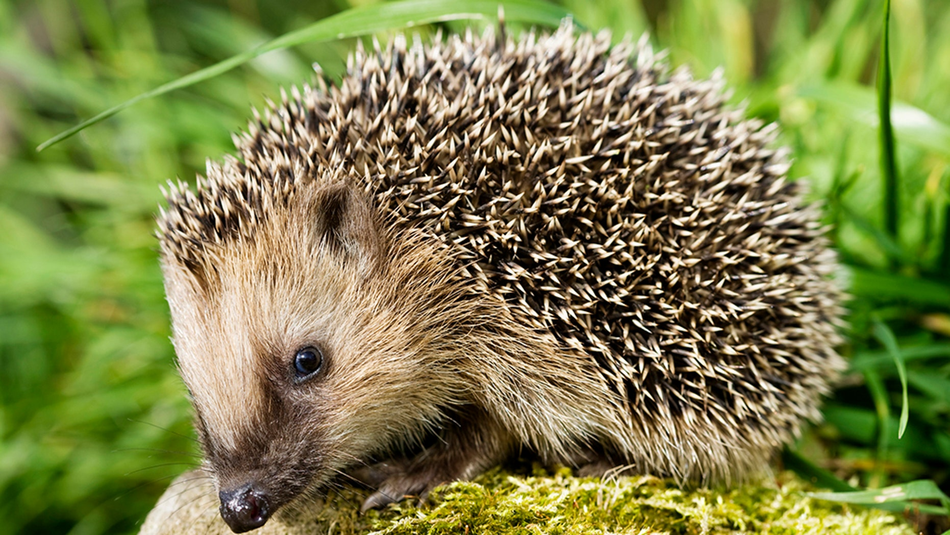 CDC warns Americans not to kiss their hedgehogs