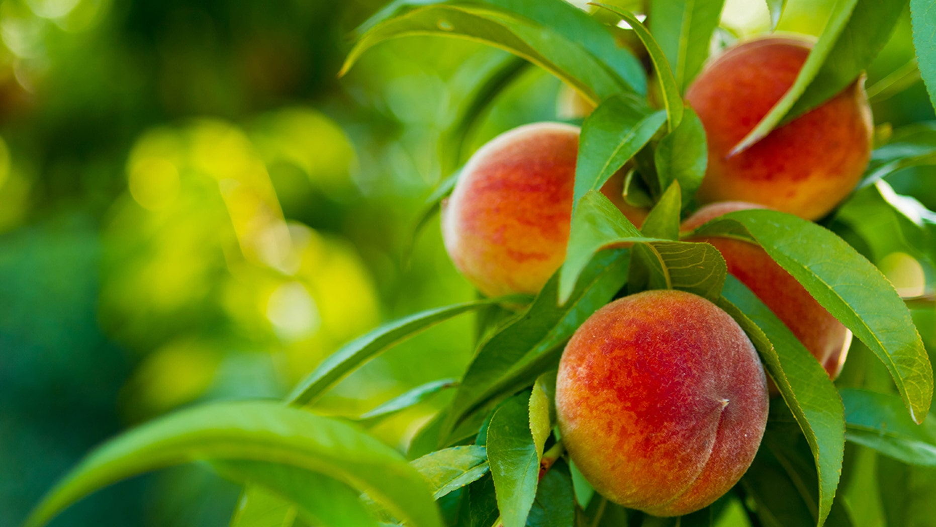 The fruit has potentially been infected with Listeria monocytogenes.