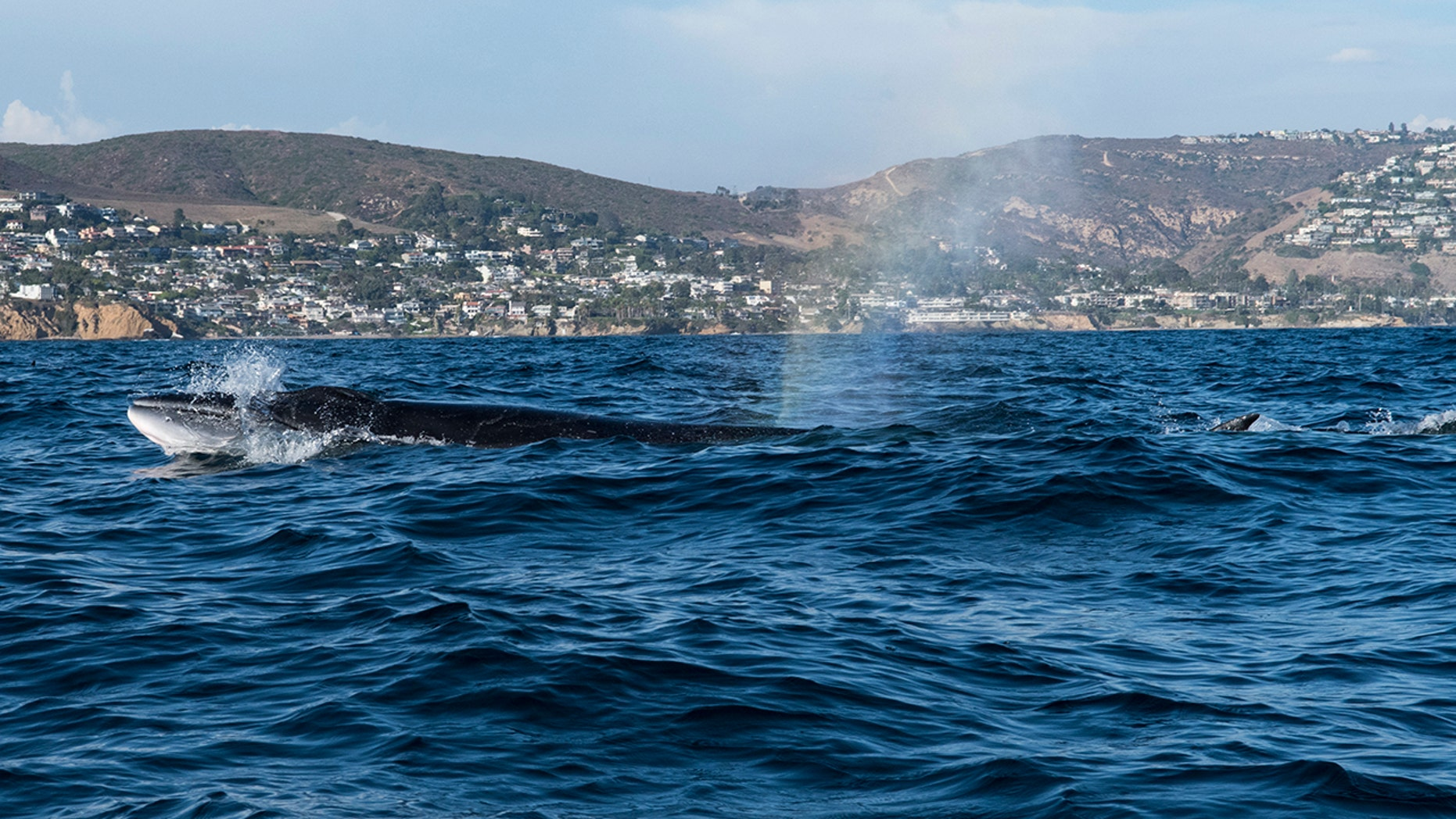 Sei whales are listed as endangered.