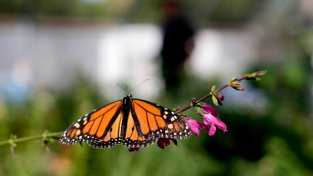 """Researchers with an environmental group are labeling as """"disturbingly low"""" the number of western monarch butterflies that migrate along the California coast."""
