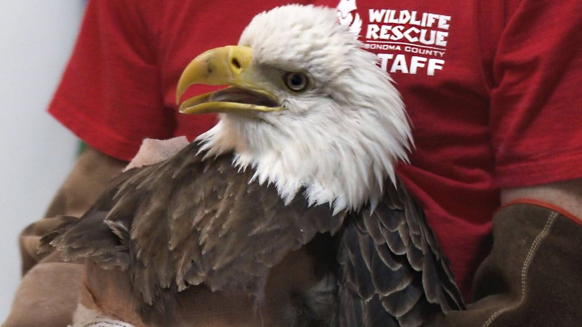 A bald eagle in California has been euthanized Friday after it was illegally shot with a pellet gun and suffered from lead poisoning. (Sonoma County Wildlife Rescue)
