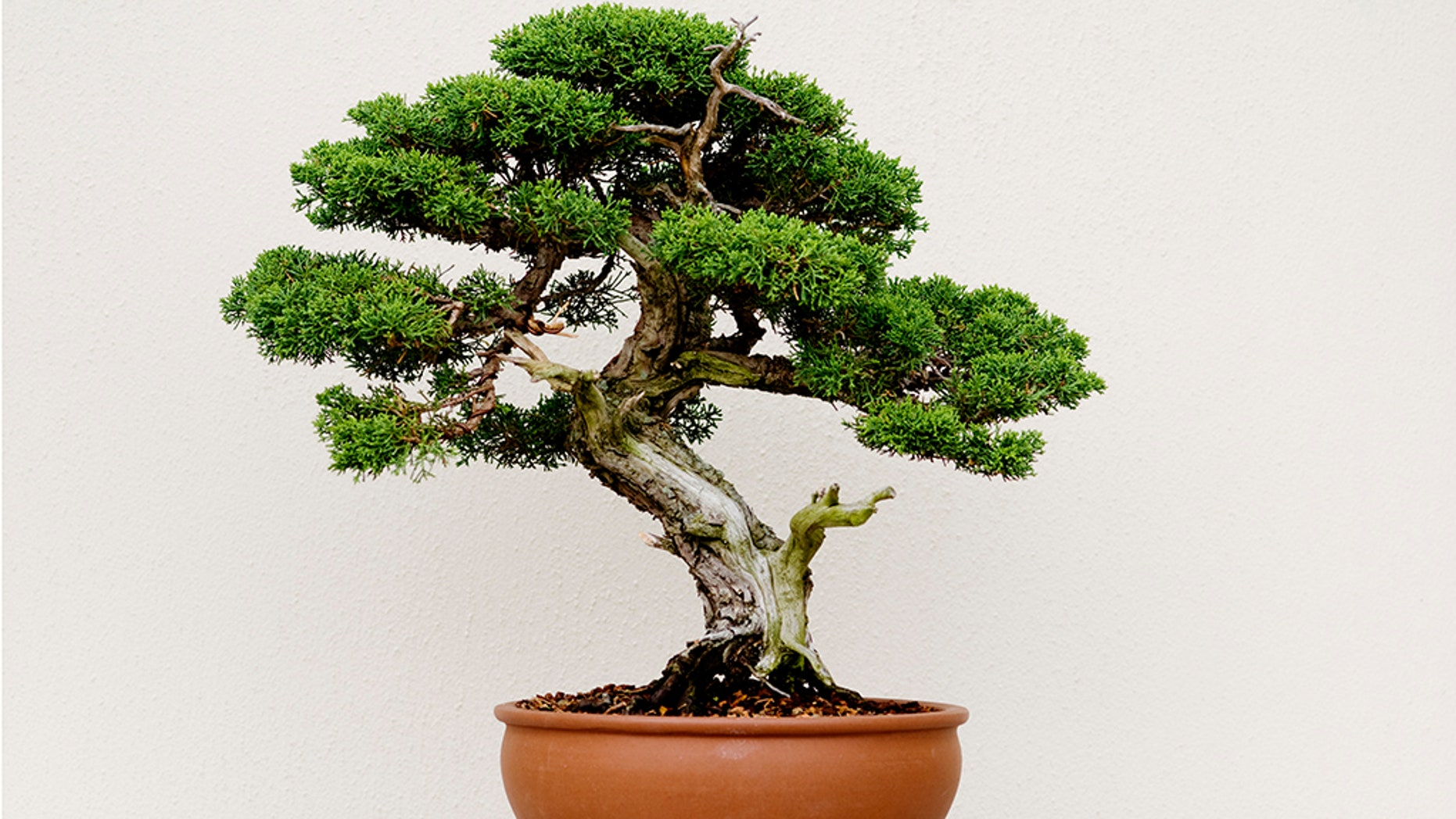 Thieves in Japan have stolen seven bonsai trees from a couple suggesting a plea on social media.