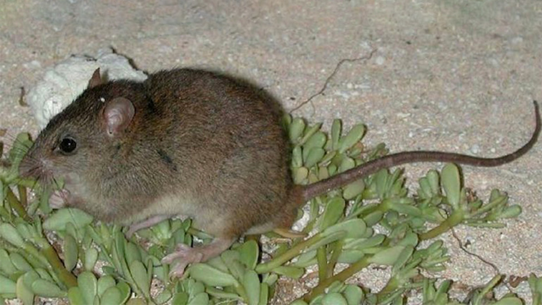 The Bramble Cay melomys, a rat-like rodent known to live on an island near the Great Barrier Reef, has been officially declared extinct by the Australian government.