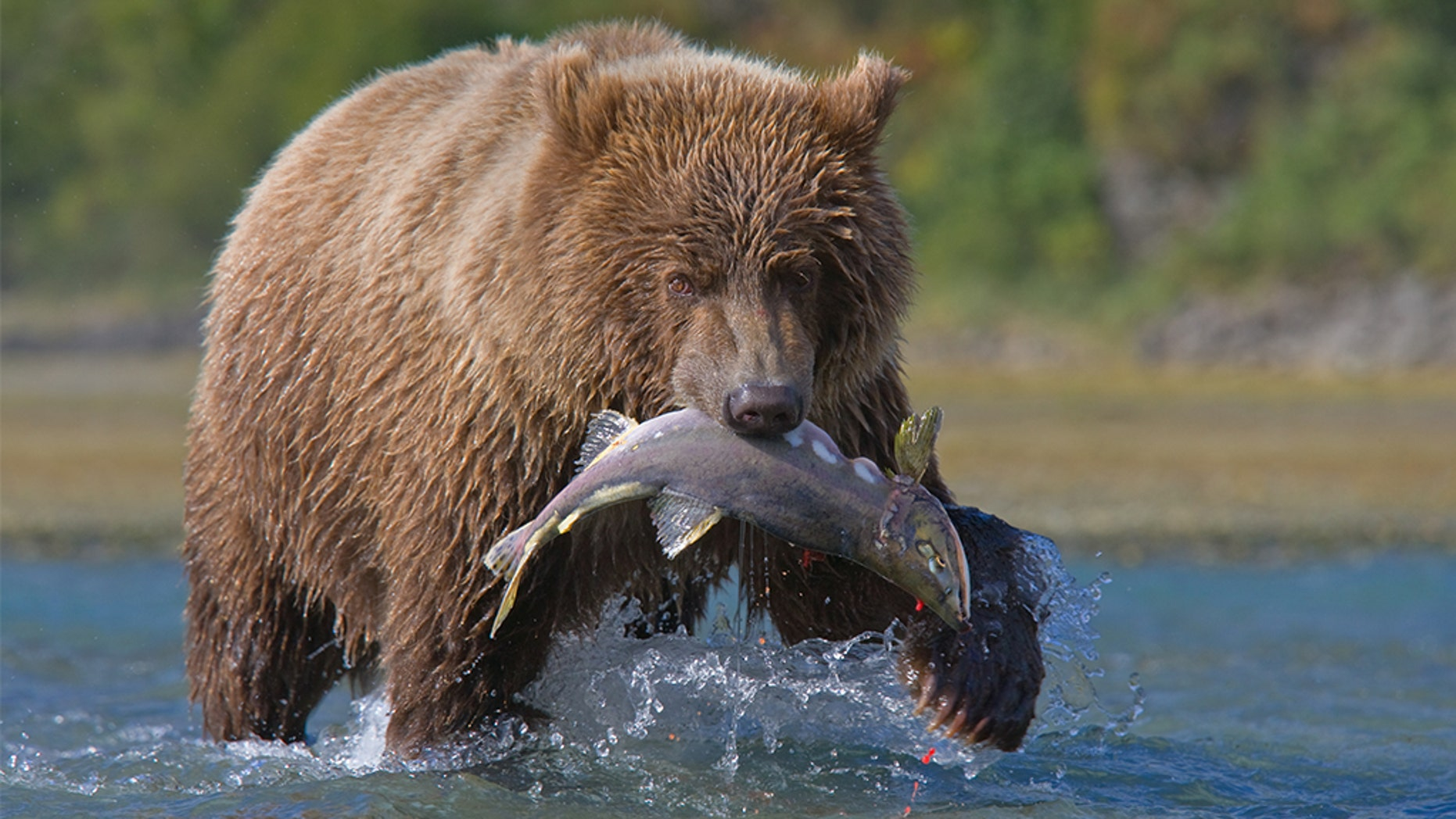 A wildlife center in Oregon is providing the opportunity for scorned lovers to name a salmon after their ex and have it fed to brown bears.