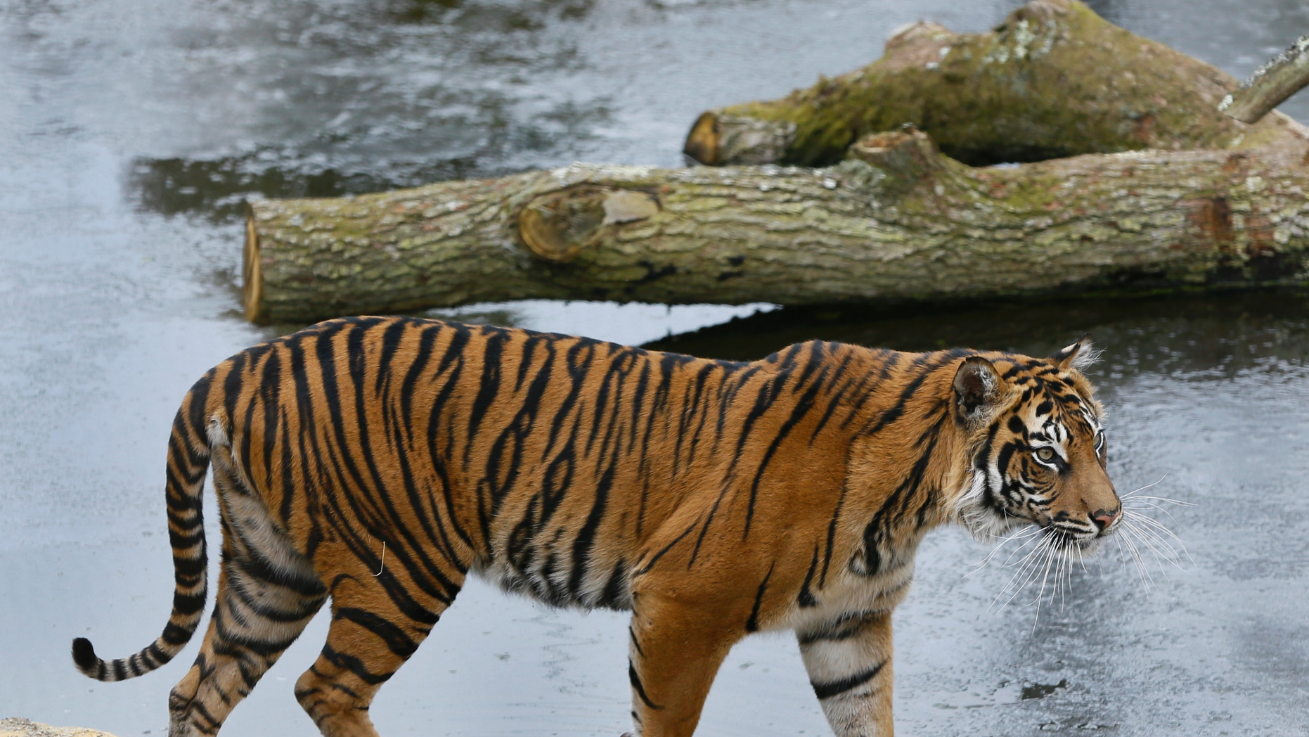 Tiger kills his would-be mate to death in grisly London zoo mauling