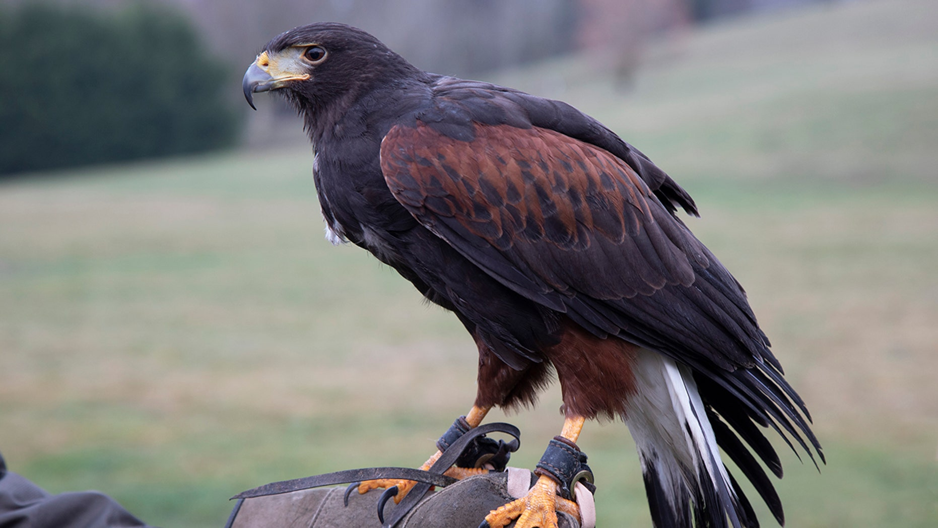 A Harris hawk, like the one pictured, was stolen near Heathrow Airport on Tuesday evening.