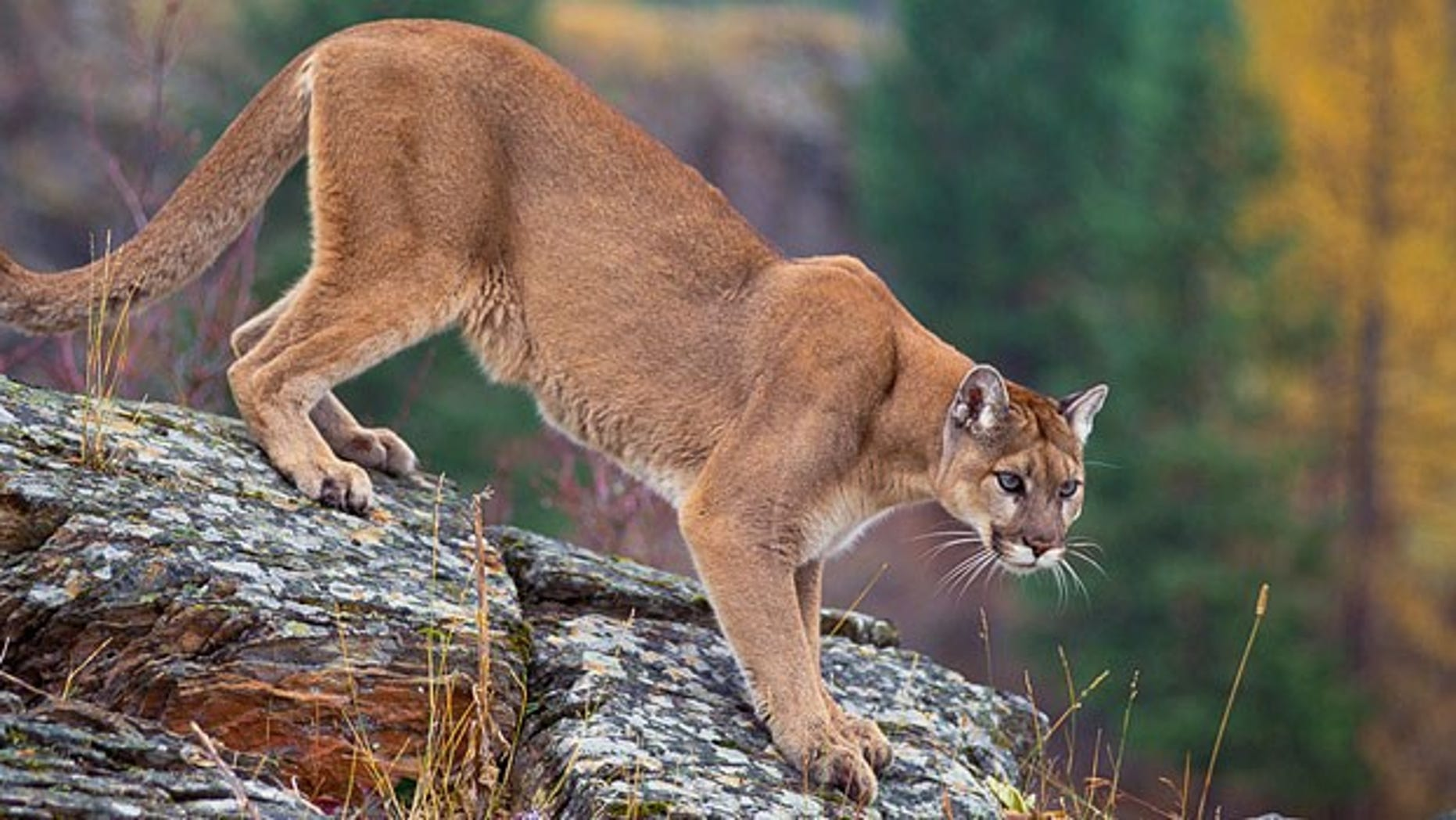 Jogger fights off mountain lion, kills it
