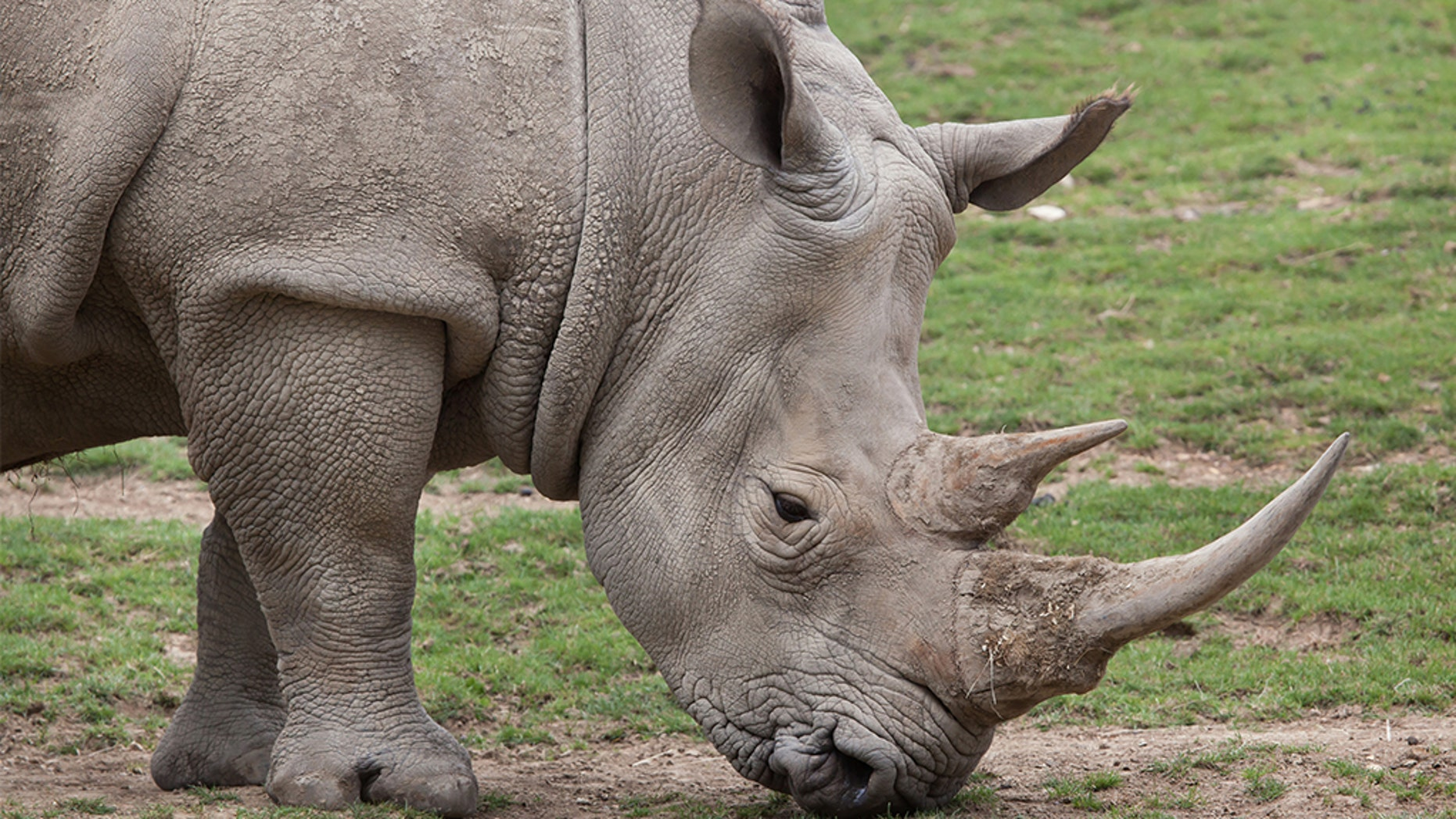 A suspected rhino poacher was trampled by an elephant and then eaten by lions at a South African national park.