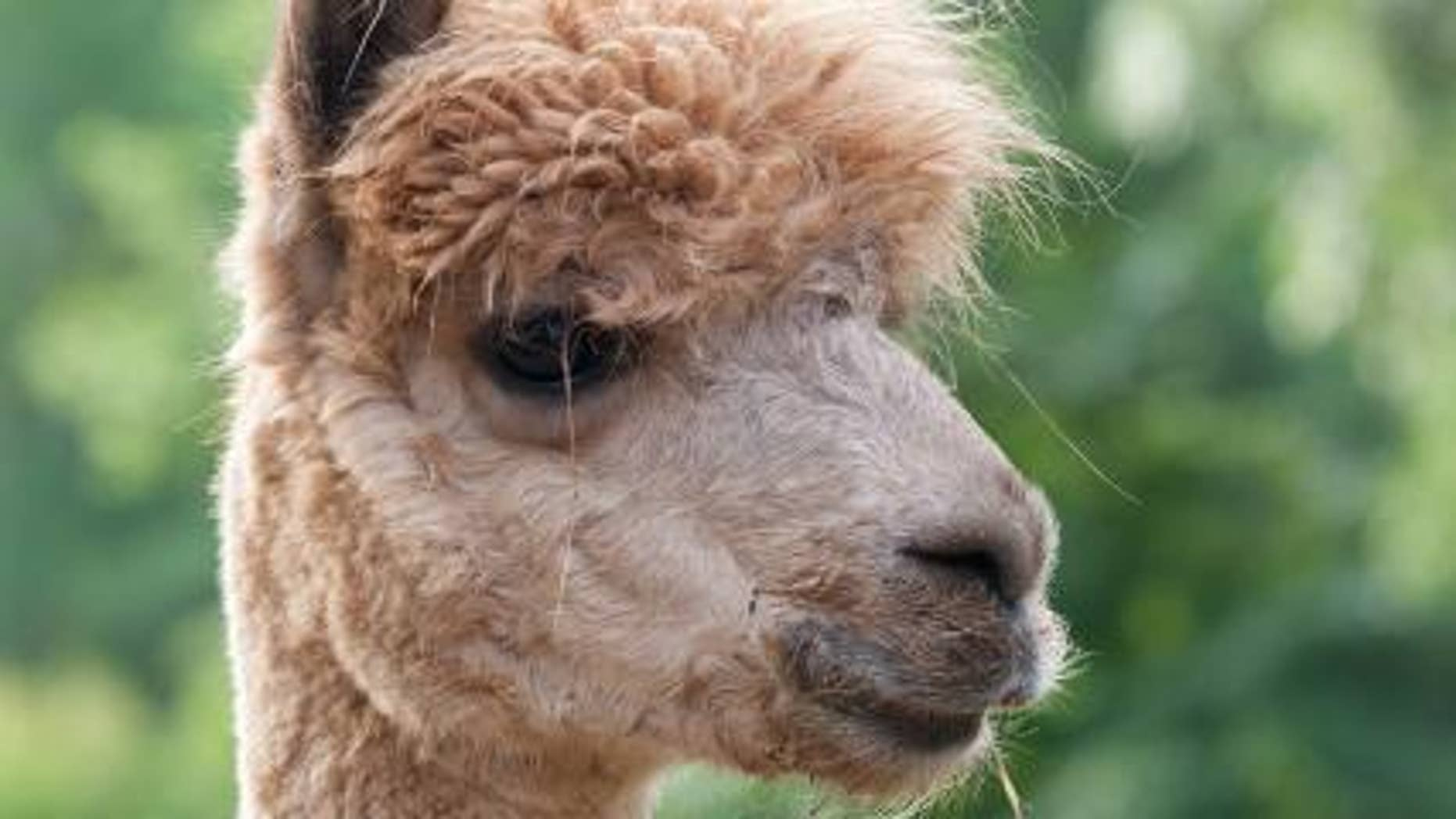 A Louisiana woman is accused of shooting her pet llama named Earl who she says attacked her. (nationalzoo.si.edu)