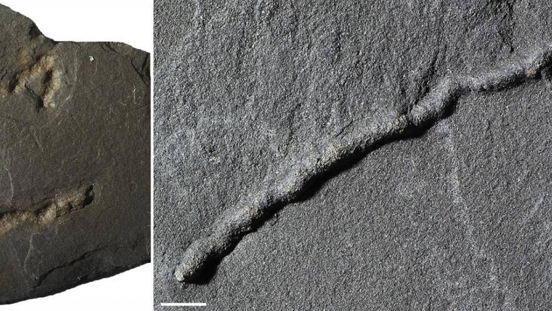 Until now, the oldest traces of motility (an organism's ability to move independently using metabolic energy) dated to about 600 million years ago. But now, newly analyzed fossils suggest that motility dates back to 2.1 billion years ago. (Scale bar: 1 centimeter, or 0.4 inches.)