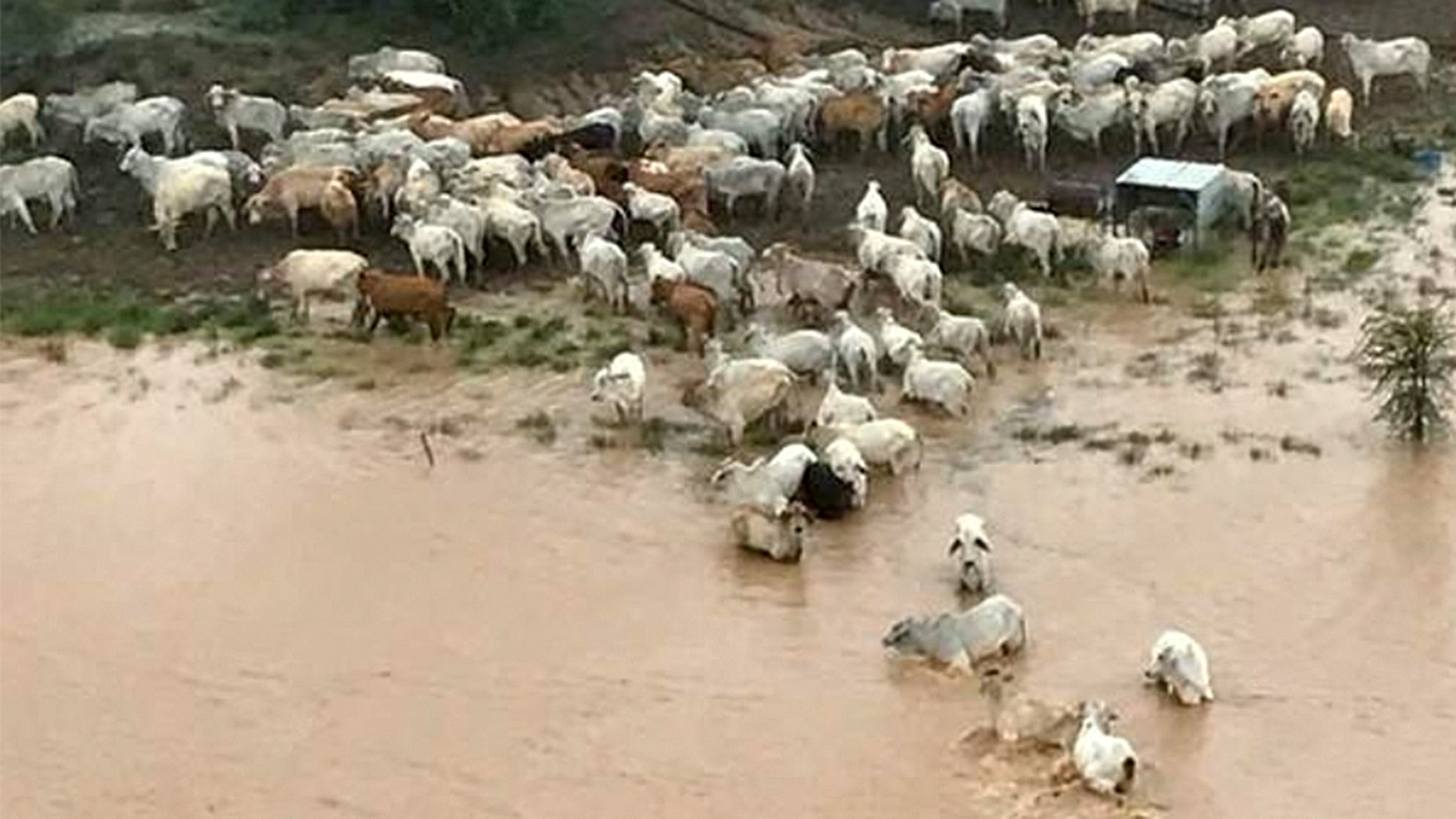 Stranded cows are seen surrounded by floodwater in Queensland, Australia February 5, 2019 in this still picture obtained from social media on February 8, 2019.