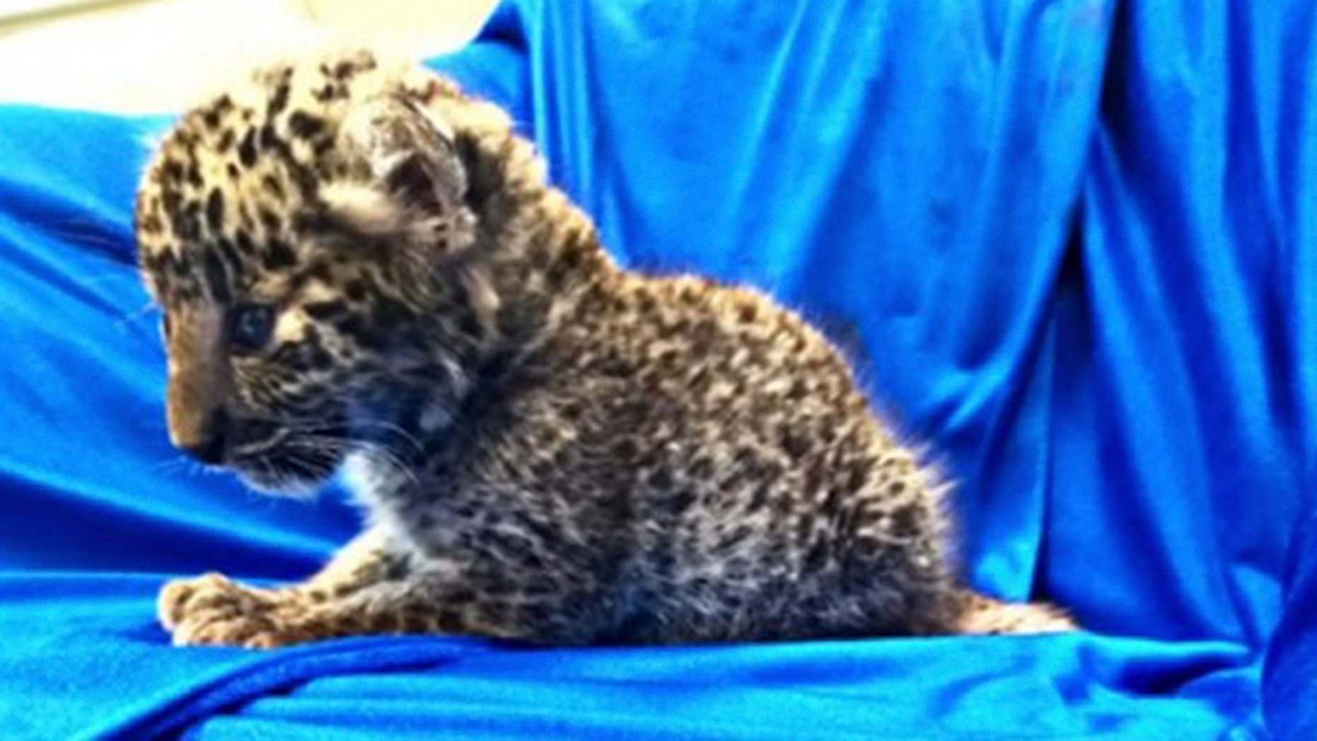 A month-old leopard was found in a passenger's luggage.