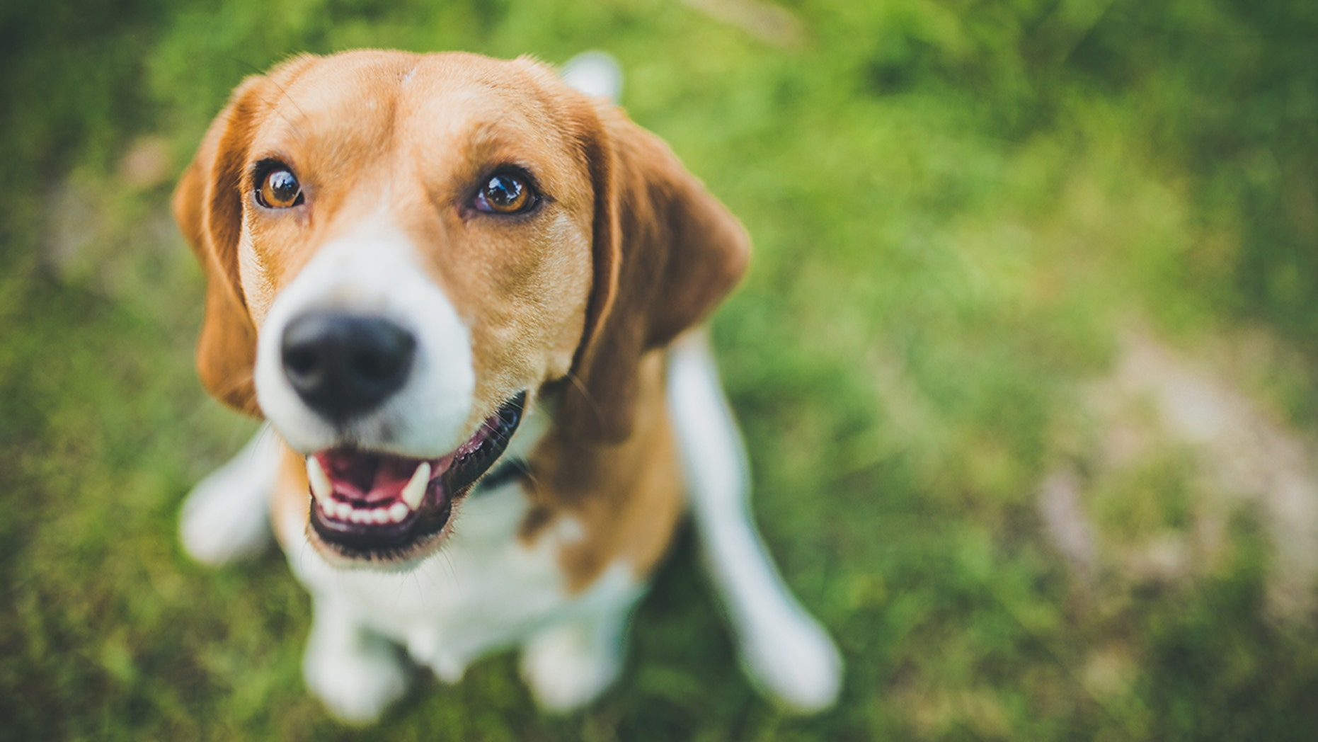 A new study presented on Monday has found that beagles can be trained to detect lung cancer from human blood samples with 97 percent accuracy. (Stock image)