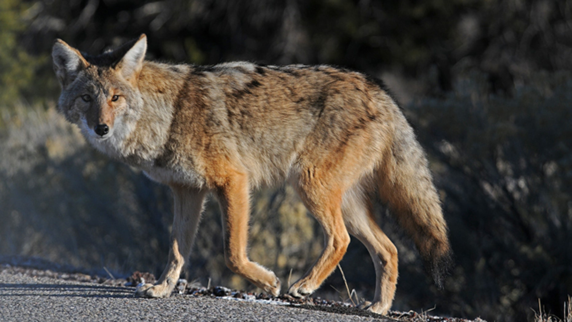 FILE: A Florida man uses a coffee cup to fend off an aggressive coyote.