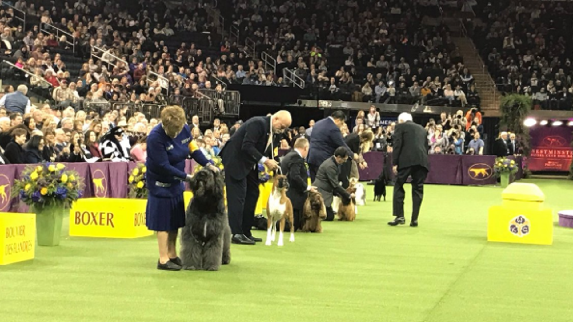Westminster Kennel Club Dog Show Names Wire Fox Terrier As Best In Show Fox News