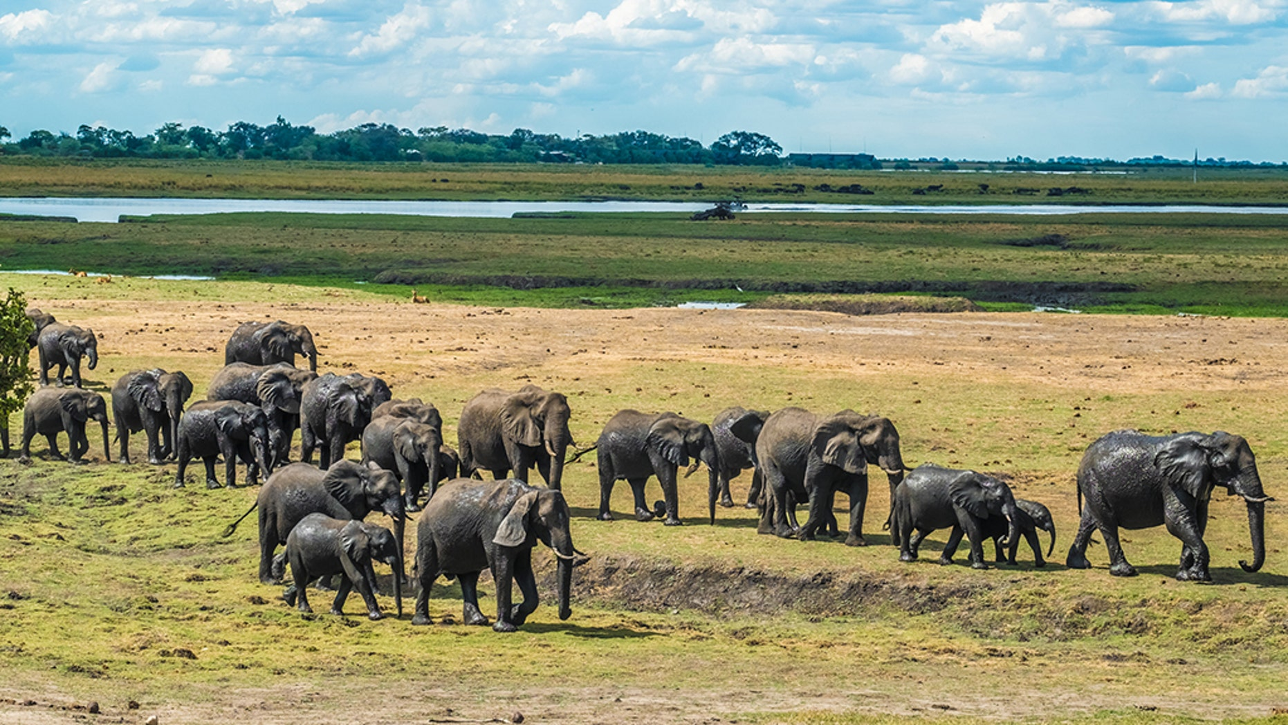 Large elephant herd taking a bath in the Chove river, Chobe Riverfront, Serondela, Chobe National Park, Botswana.